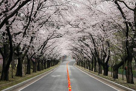 에버랜드 벚꽃축제_175610168.jpg