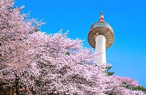 남산 벚꽃.png
