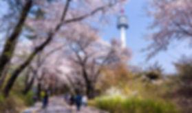 남산 벚꽃.jpg