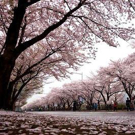 مهرجان زهور الكرز - الربيع