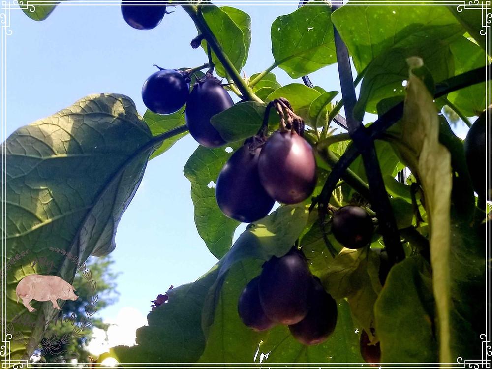 Mini Eggplants in my garden, 2019