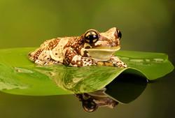 Amazon Milk Frog - Wild Arena