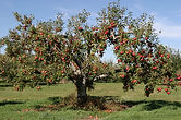 Ancient Apple tree from historic farm at Mackinaw Club Golf Course