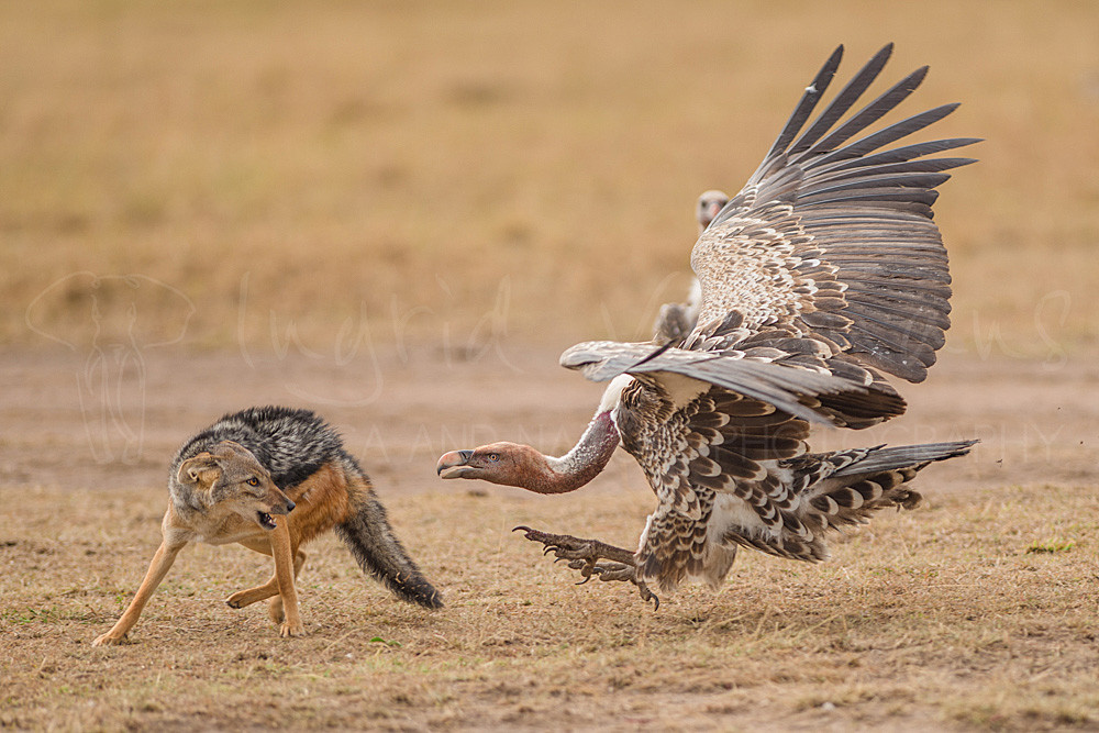 Jackal and vulture squaring off