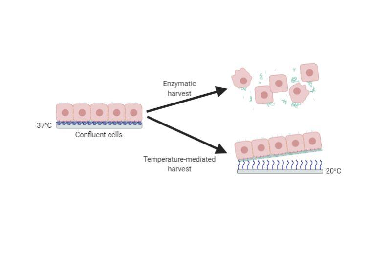 Temperature-mediated Cell Sheet Harvest