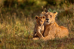 tz15_lions.jpg