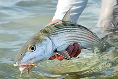 Bonefish from Sandy Point