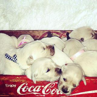 Golden retriever puppies.jpg