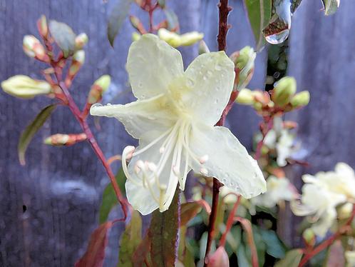 White Unknown blossom in Victoria BC
