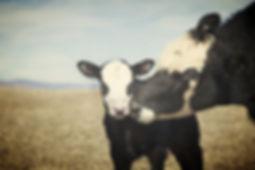 Vache et veau vivant en liberté