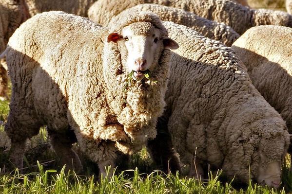 Merino sheep.JPG