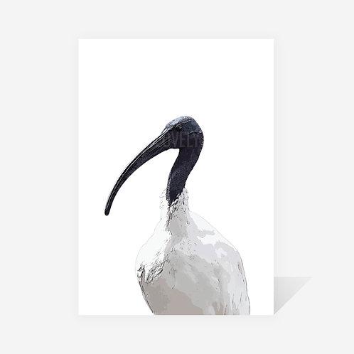 Australian White Ibis / Jason Print