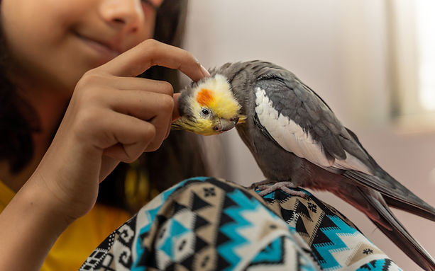 Girl petting her pet cockatiel bird perc