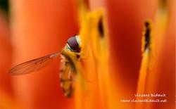abeille photo V. Bidault