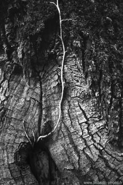 détail d'arbre photo V. Bidault