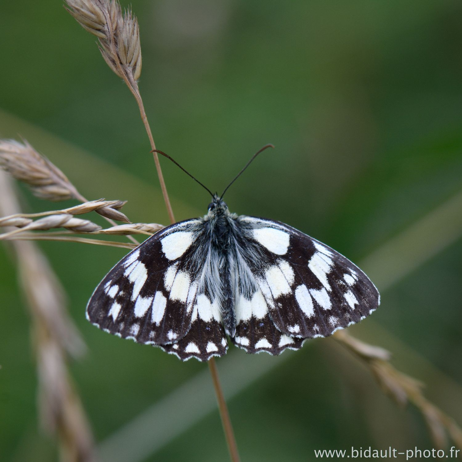 papillon photo V. Bidault