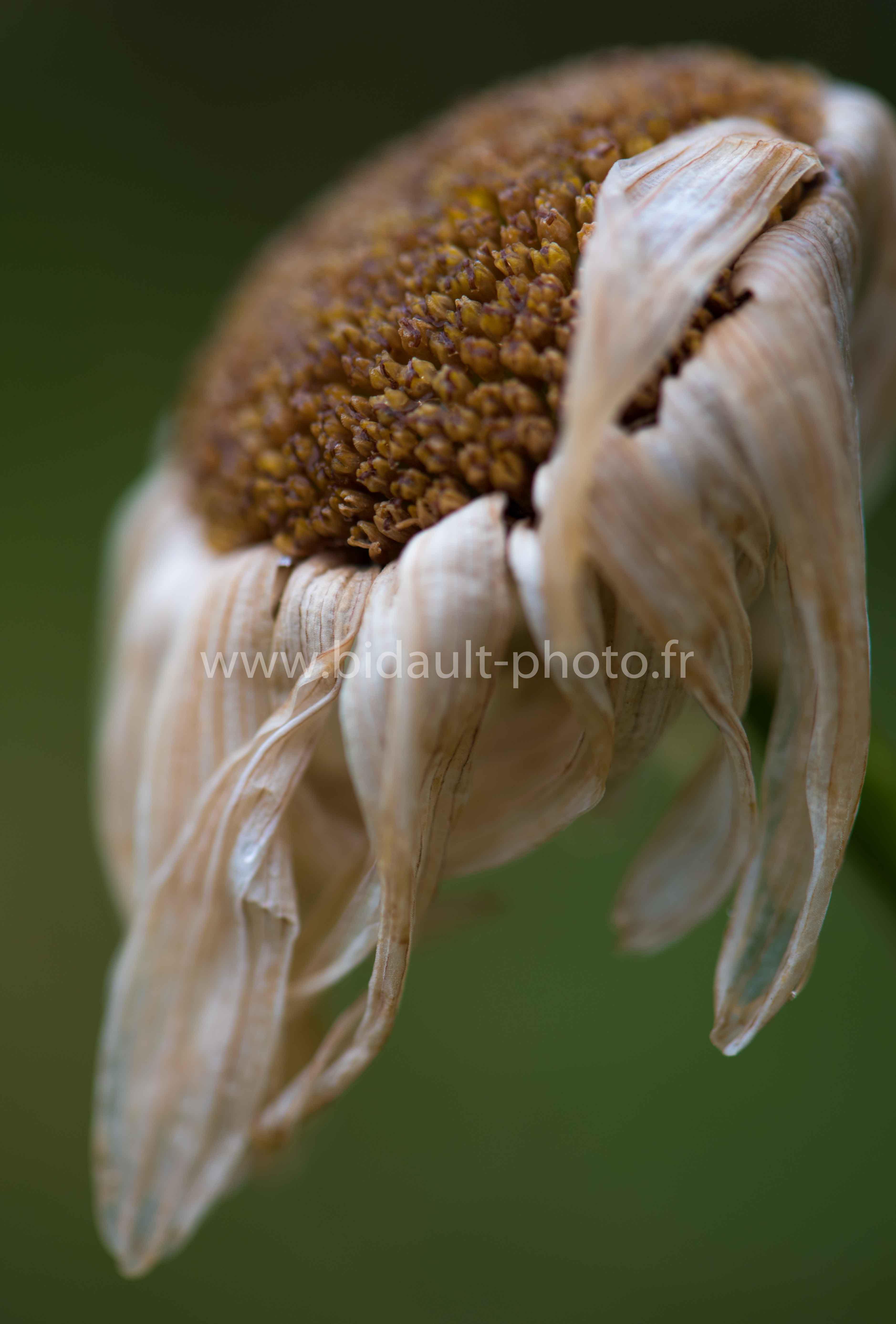fleur fanée photo V. Bidault