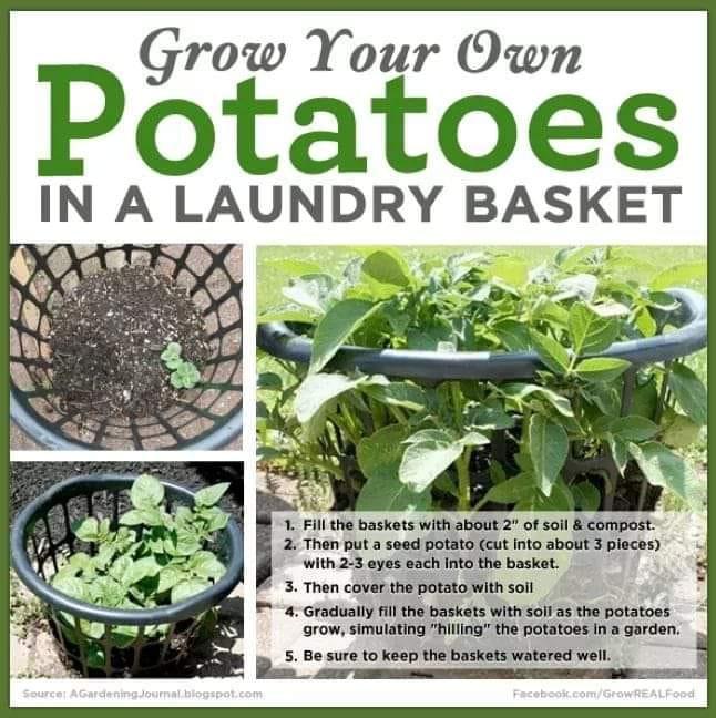 Plant potatoes in basket.jpg