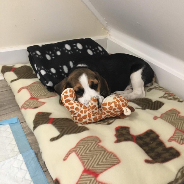 Puppy Bailey on her Flat Mattress Bed