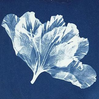 'Alstroemeria'  - Cyanotype Photogram