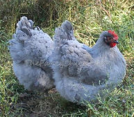 Lavender Orpington Chicken