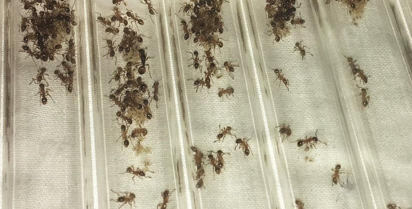 Colonie de fourmis Myrmica rubra