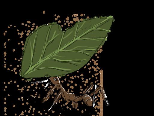Atta : la fourmi coupeuse de feuille