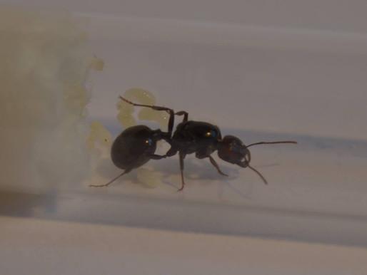 Comment débuter mon élevage de fourmis ?
