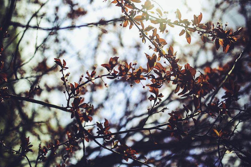 cherry-plum-791844_1920.jpg