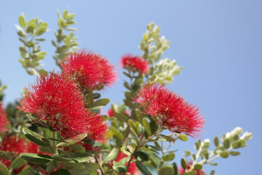 Kiwi Christmas - Pohutukawa tree