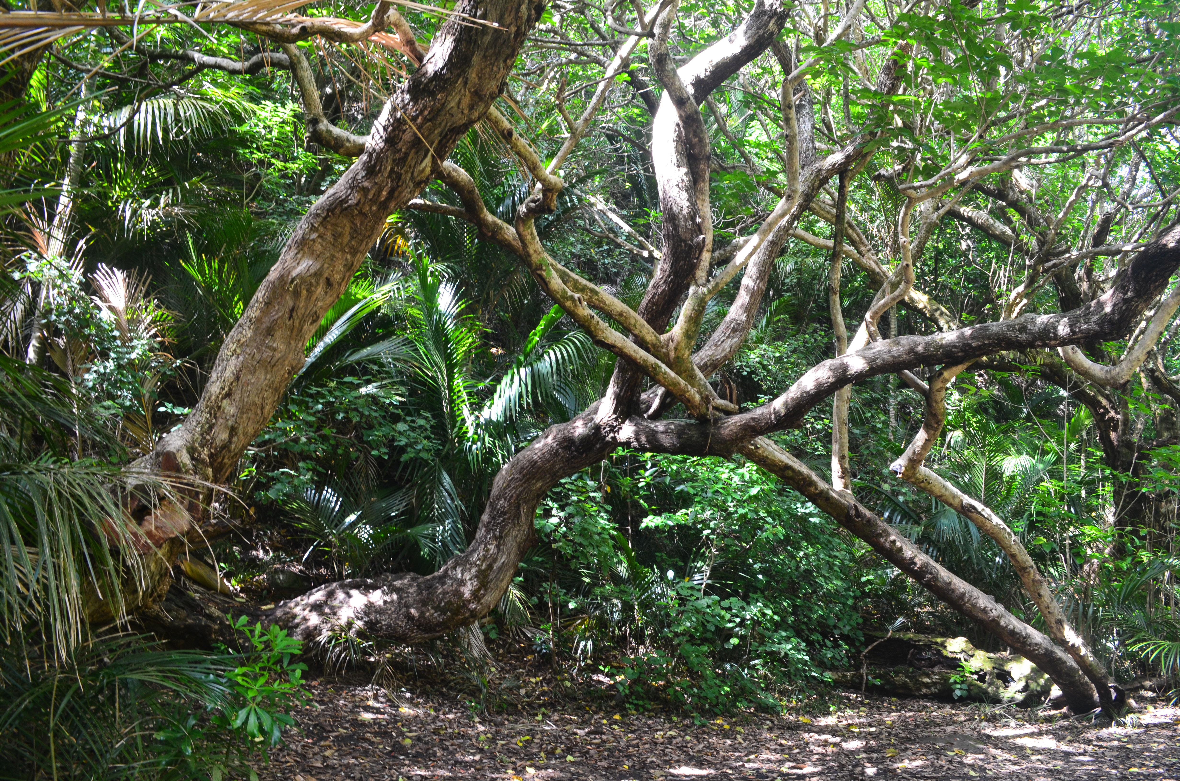 Karekare trees