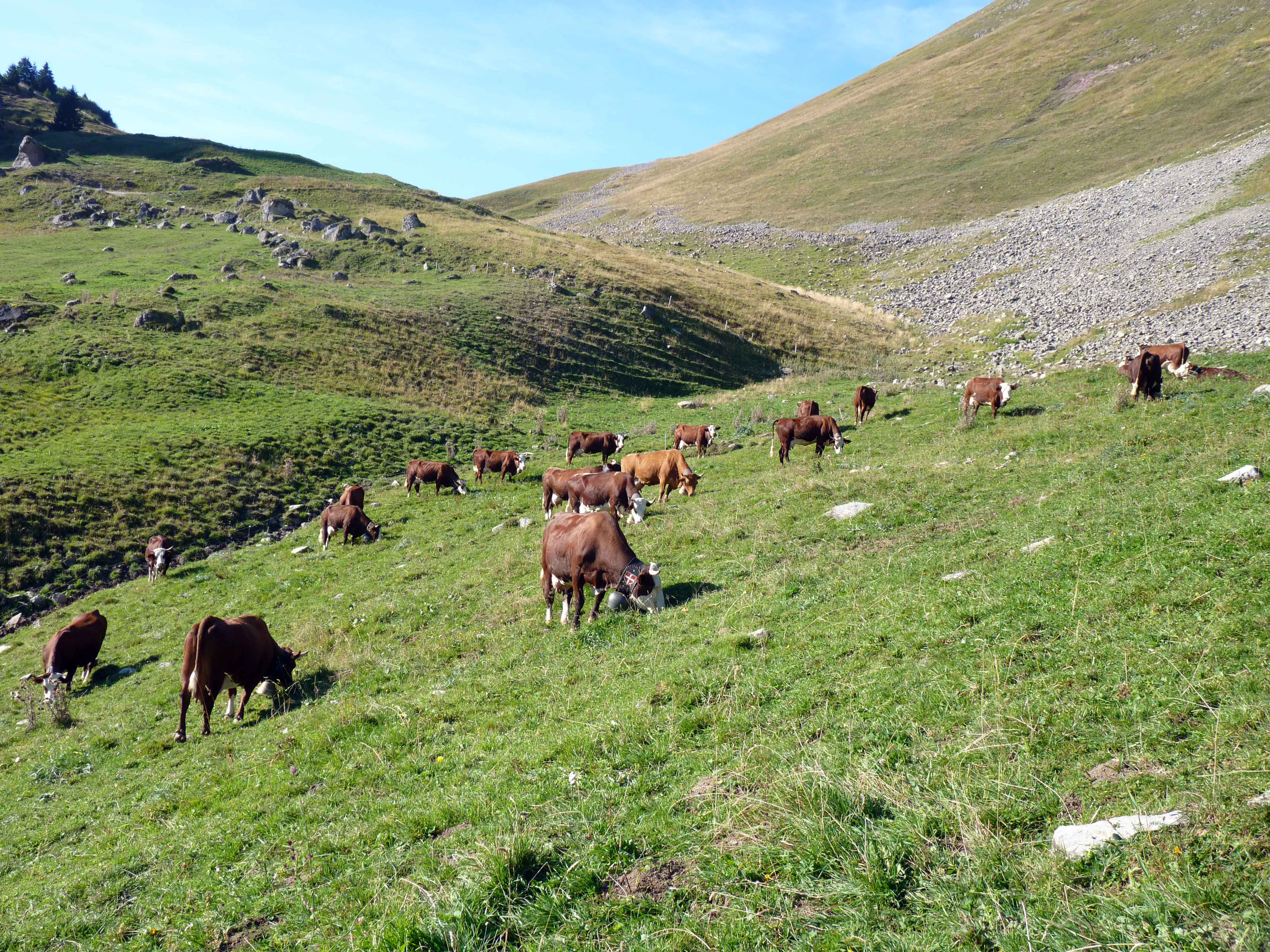 vaches-74