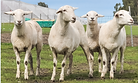 Aus white ewes photo.PNG