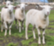 Aus white ewes photo 1.PNG