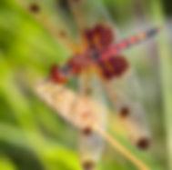 AS20_Dragonfly_CalicoPennant_web.jpg