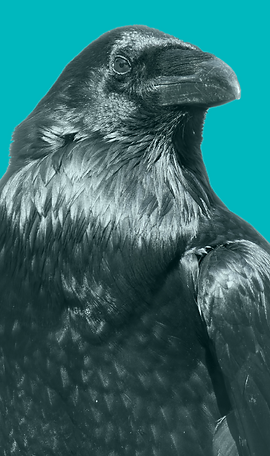 Raven with turquoise background.png