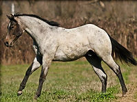 bay roan that turned gray 1-2.jpg