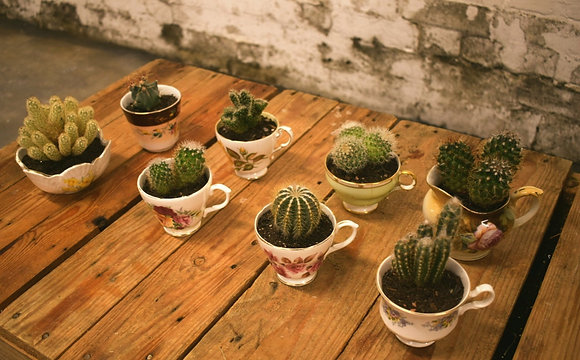 china tea cup cacti plants for hire