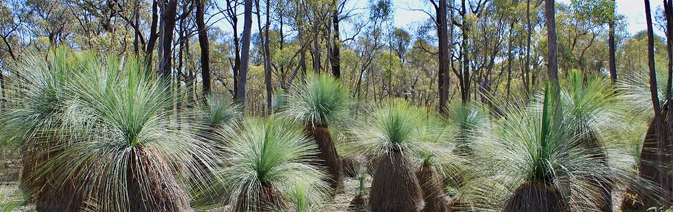 Grey Grass Trees