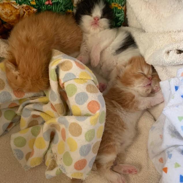 PERSIAN KITTENS.jpg