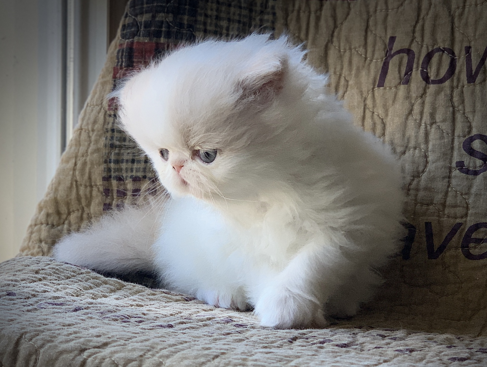 CREAM WHITE BI COLOR PERSIAN KITTEN