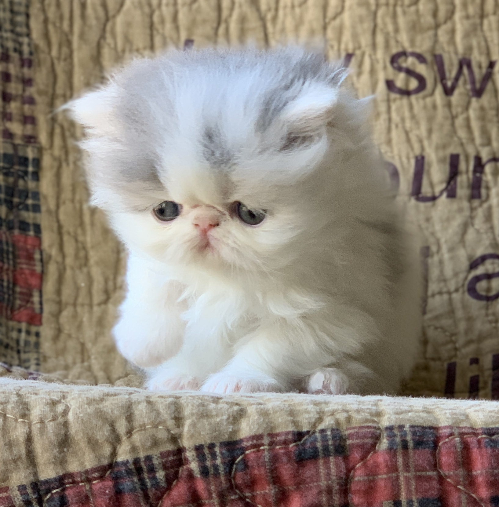BLUE WHITE BI COLOR SHOW PERSIAN KITTEN