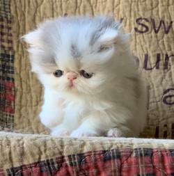 BLUE WHITE BI COLOR SHOW PERSIAN KITTEN