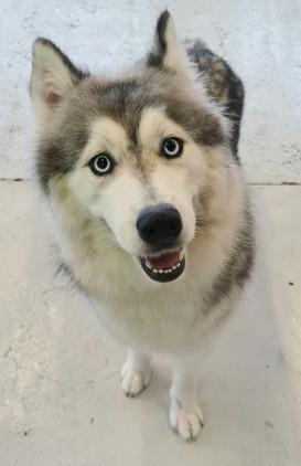 Beautiful Husky 😍😍