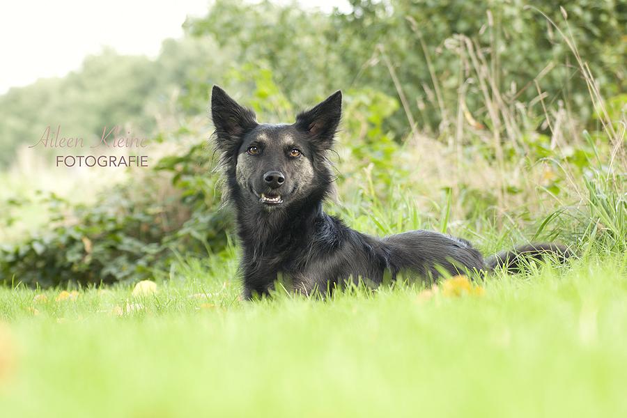 aileen_kleine_fotografie_hoogeveen_honden_drenthe_herder