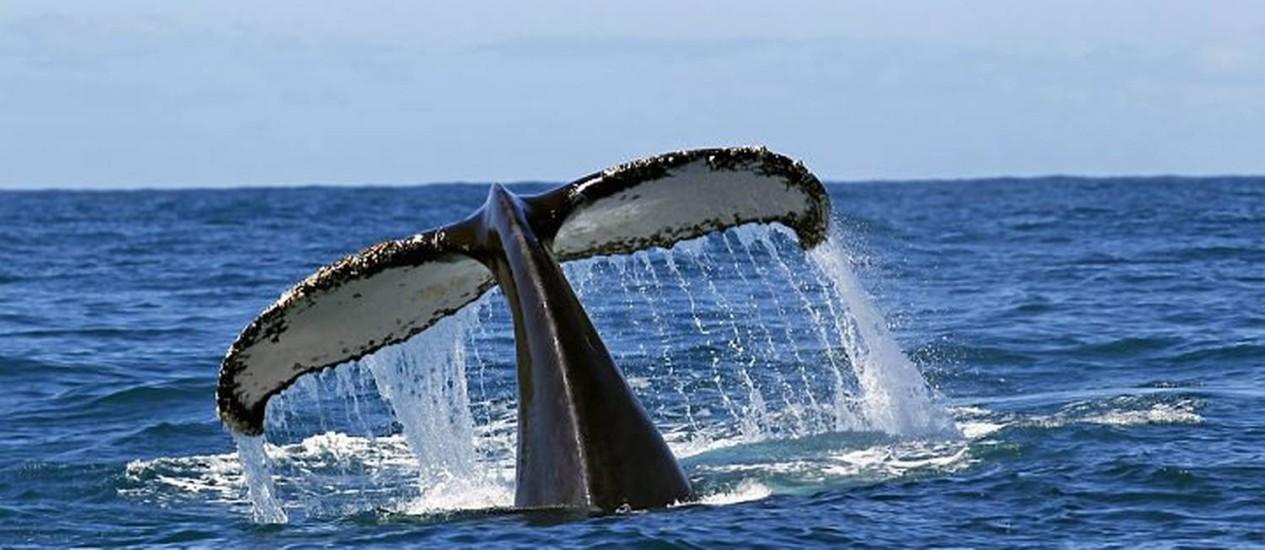 Cauda-de-uma-baleia-jubarte-avistada-no-litoral-de-Arraial-DAjuda-Foto-Custodio-Coimbra