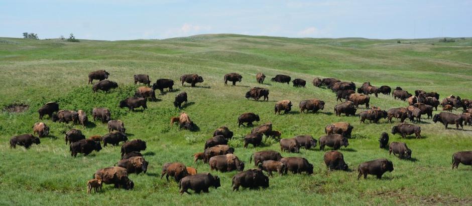 Alberta Grasslands: Were The Buffalo Roam Again