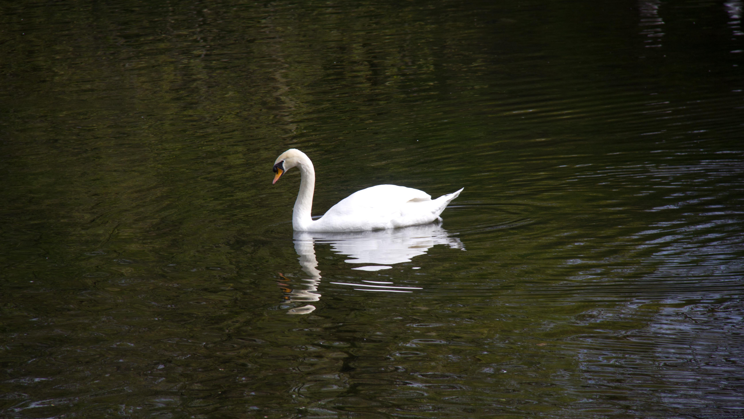 Swans of St. Stephens Green