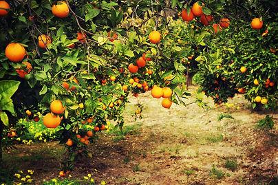 orange trees in the garden.jpg