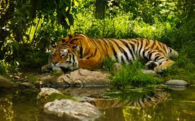 Sleeping Tiger on the Nile in Sheep's Clothing